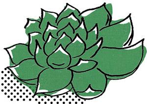女雛:俗稱「紅邊石蓮」,景天科石蓮花屬。冬天時葉片邊緣會轉紅。