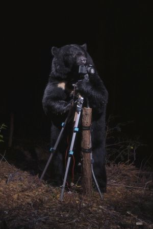 A Black Bear Plays with a Camera, 2006.Color Photograph Collection of the artist. © Manabu Miyazaki
