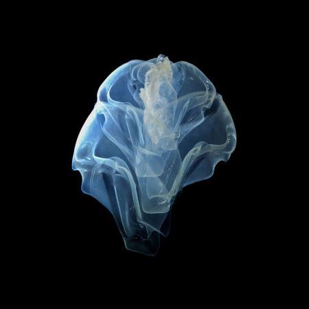 © Christian Sardet and The Macronauts/Plankton Chronicles