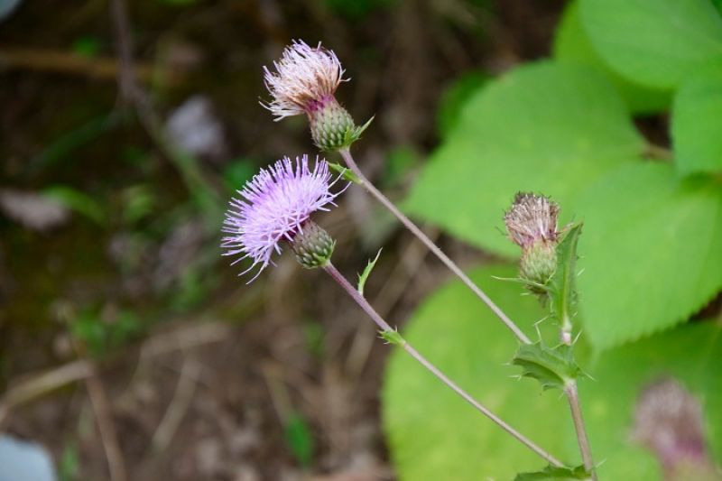 雞角刺(南國薊)是小林常見植物。花期過後種子會隨白色冠毛隨風飄散。雞角刺代表了小林人的精神,再苦的環境也能堅韌生長,昂首開花。(圖片/Mata Taiwan提供)