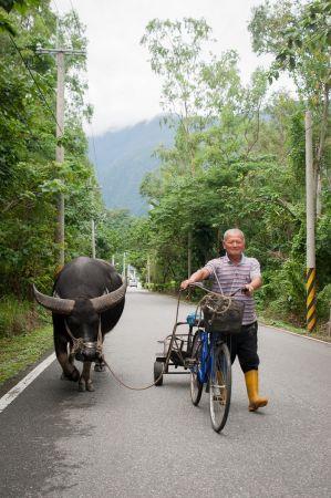 阿伯每天帶著夥伴老牛,沿著小路,一起走到四十年來日日耕作的田地。