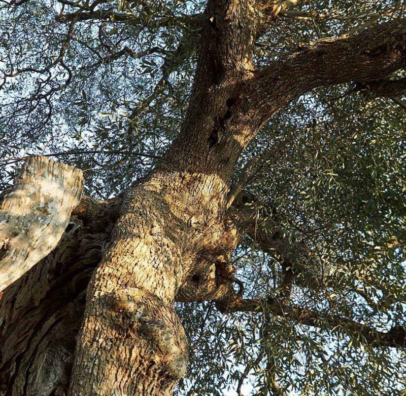Cazzetta 家族,擁有300公頃的古老橄欖樹,位在義大利半島最南端的普利亞大區薩蘭托半島,更有不少是千年以上歷史的橄欖樹。