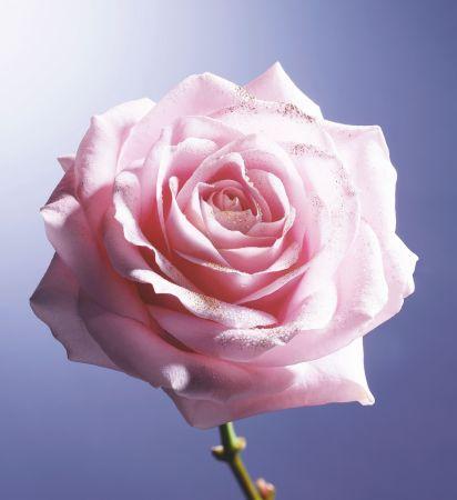 專屬蘭蔻的珍稀玫瑰品種「黑鑽玫瑰」。