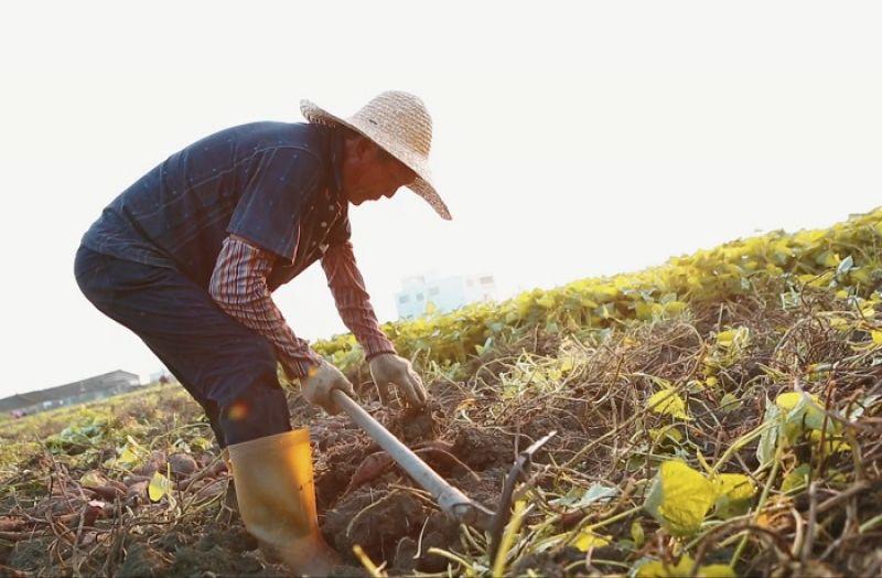三十年前這裡種的西瓜又大又甜,但後來西瓜只開花,不結果。劇照/《台西悲歌》,詹皓中。