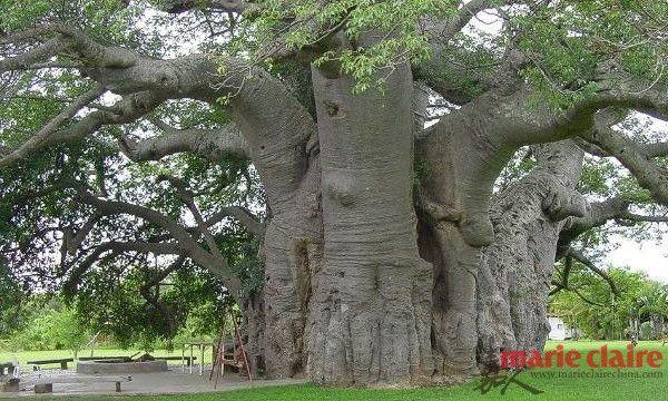 南非—Sunland Baobab