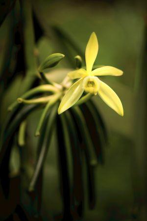 五月梵尼蘭花朵