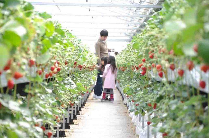 草莓-賞味期間:12月中旬~隔年6月宮城縣南的亘理・山元地區一帶水土氣候適合草莓生長,所以這裡的草莓生產量是日本東北最多的地區。草莓品種多樣,根據不同農園就有不同品種,而部分農園更發展出宮城縣獨創品種「Mouikko(中譯:再來一個)」,外型飽滿、滋味香甜,讓人會想要再來一個。除了新鮮的草莓之外,還有獨特的草莓料理或是草莓酒等等,打破一般想像的草莓特色農產品。