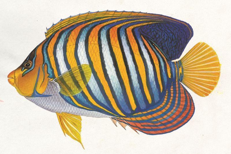 甲尻魚(黃崑謀繪,遠流出版提供)