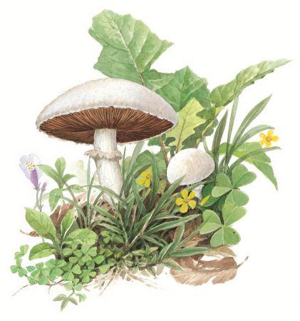 蘑菇(黃崑謀繪,遠流出版提供)