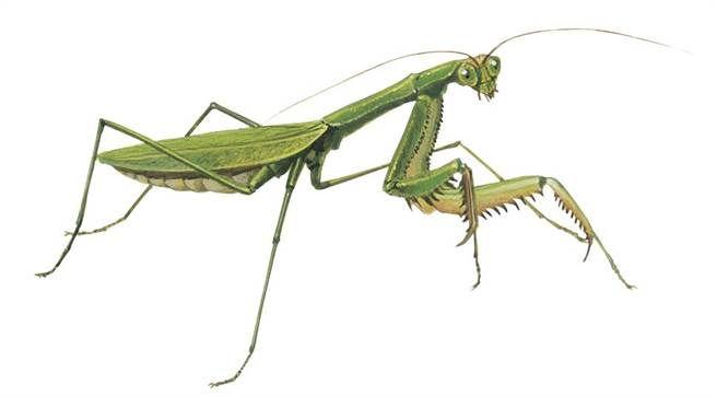 螳螂(黃崑謀繪,遠流出版提供)