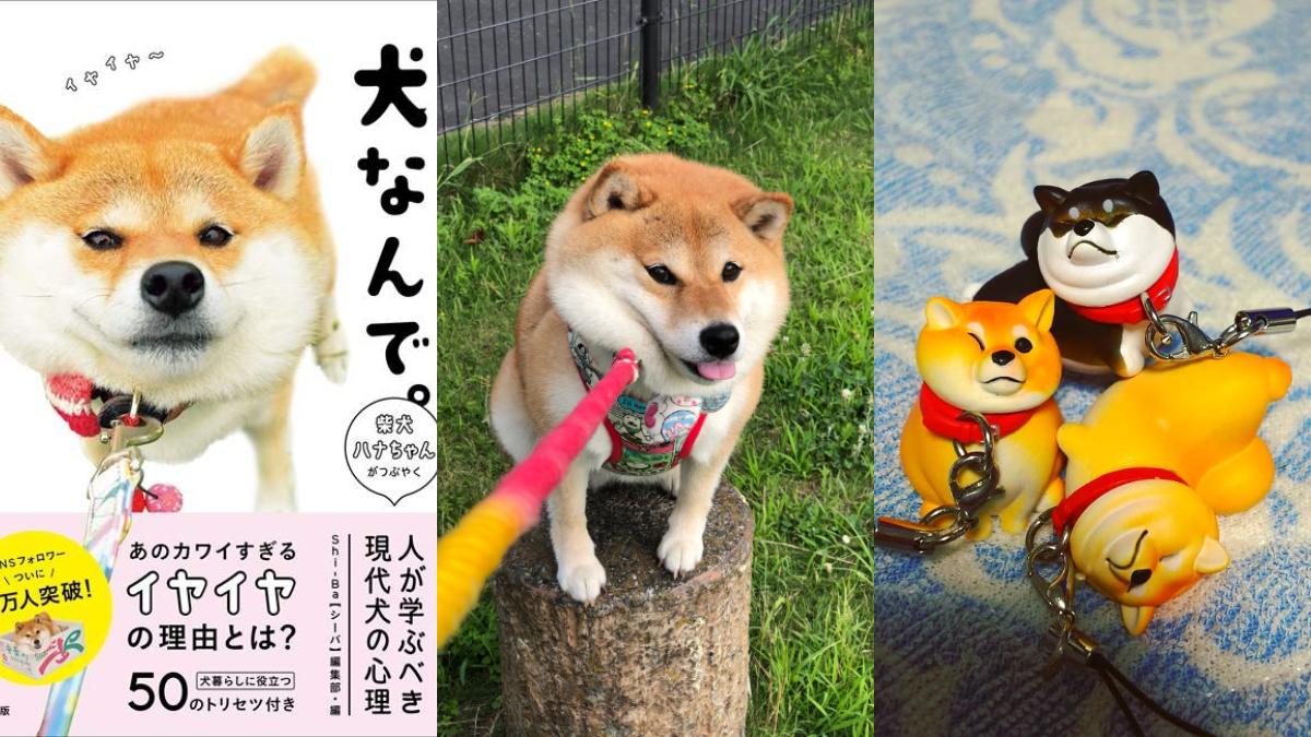因為「不想回家」而出了扭蛋還有寫真書!日本超人氣爆萌「拒否犬」HANA實在是太可愛了~