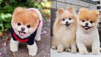 帶給人們13年的快樂與溫暖!全球最萌狗明星Boo離世…
